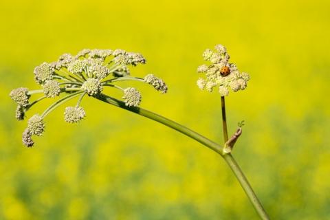 Erkki Koski-Lammi - Ladybug